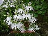 100pcs / bag Japanische Radiata Samen weißer Reiher Orchid Seeds Welt Seltene Orchideen-Arten Weiße Blumen Orchidee für Garten und Haus