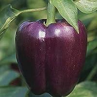 Semi Premier diretto ORG 219 Peperone dolce viola Seeds bellezza organica (confezione da 50) - Singole Organico