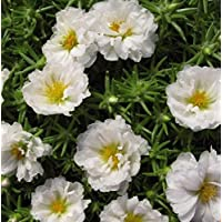 Portal Cool Semillas de arroz doble-Rose Makrova blancos (Portulaca grandiflora) Anuales