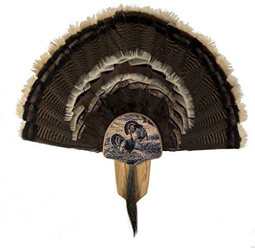Walnuss Hohl Country Türkei Fan Mount & Display Kit Eiche mit Merriams Truthahn