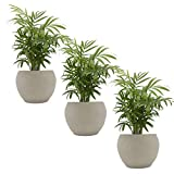 Zimmerpalmen-Trio mit Keramik-Blumentopf'Nature Cream' - 3 Pflanzen und 3 Deko-Töpfe