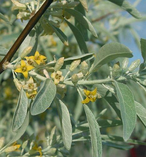 Elaeagnus angustifolia - Russische Olive - 5 Samen