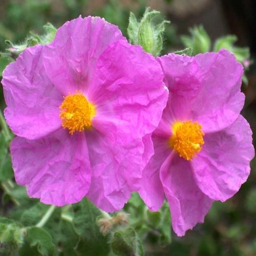cistus-albidus-seeds