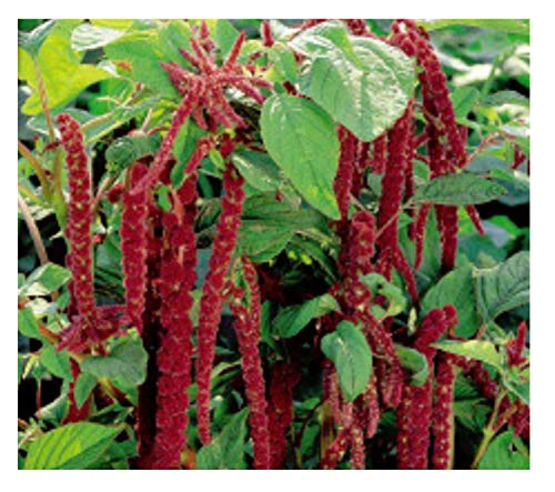 30x Blutweiderich Red Cascade - Fuchsschwanz Samen Garten Pflanze Blumen KS48