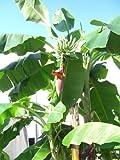 Seedeo Große Schneebanane (Ensete glaucum syn. Ensete wilsonii) 10 Samen