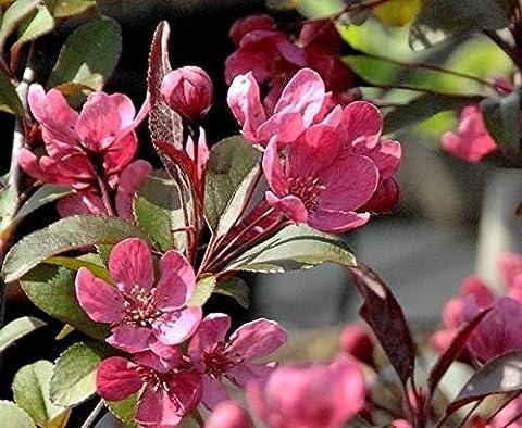 1X 5-6FT LARGE MALUS RUDOLPH - BEAUTIFUL FLOWERING CRAB APPLE