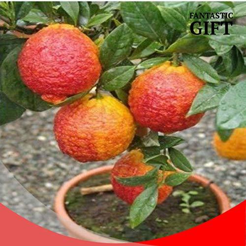 Portal Cool Red Limon Dwarf japanischen Baumsamen Mini Bonsai Pflanze Exotische Seltene Früchte Garten