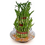 "SMZ Brandlines - 3 Layer 4"" 6"" 8"" Top Quality Lucky Bamboo For Feng Shui (Total About 38 Stalks) (Bamboo)"