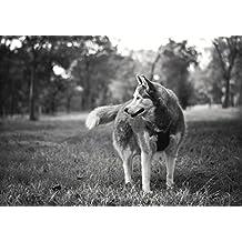 Poster Perro husky que mira detrás