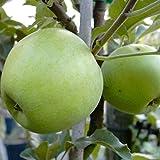 Apfelbaum Zuccalmaglio Renette Winterapfel Halbstamm Liebhabersorte 170-200 cm Unterlage MM111