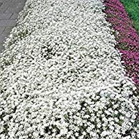 PlenTree Nieve En Verano- (Cerastium Tomentosum) - 200 Semillas