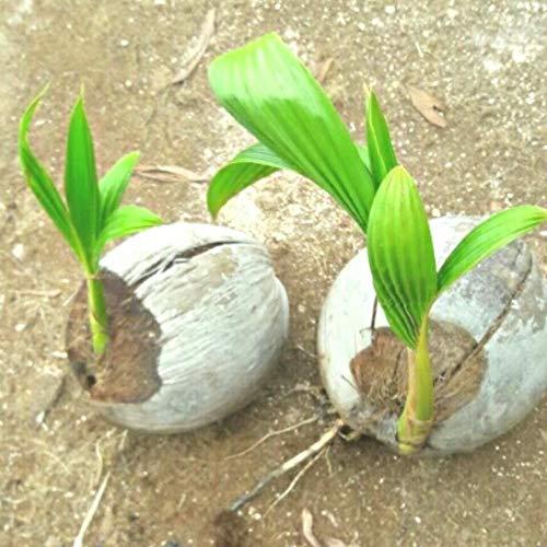 Seeds: 1 Neu !! 1 Samen Kokospalme Samen gekeimt Samen (Cocos Nucifera) ??????? ??????