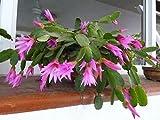Hatiora rosea ~ Rose Cactus Pascua impresionantes Flores rosas ~ Rare 5 Semillas ~