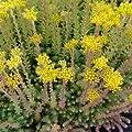 Tripmadam - Sedum reflexum - Steingartenstaude von Native Plants - Du und dein Garten