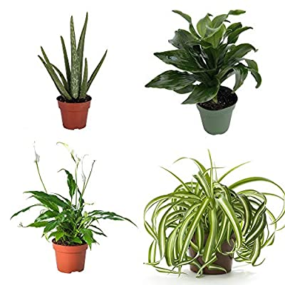 Aloe Vera House Plant Selection