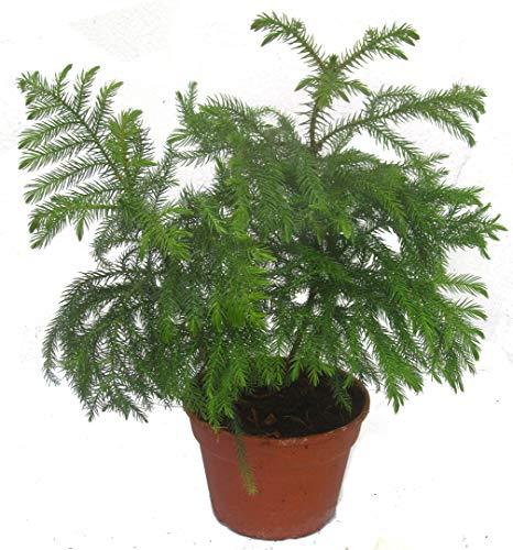 Araucaria heterophylla, Zimmer-Tanne, Zimmer-Araukarie, Norfolk-Tanne