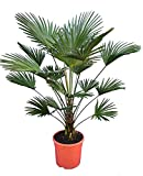 Winterharte Hanfpalme - Trachycarpus wagnerianus - Gesamthöhe 140-160cm Stamm ±30cm Topf Ø 31cm