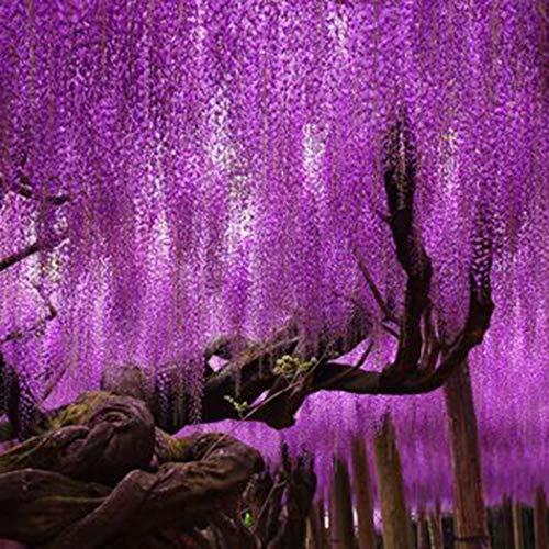 Eden-blumen 10 Stück Wisteria Seeds sinensis Kletterpflanzen winterhart Mehrjährige Blumensamen Ziersträucher Raritäten Zierpflanzen für Balkon, Wand, Garten, Bauernhof