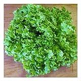 Pflück-Salat - Salad Bowl Green (200 Samen)