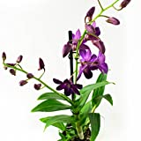 Orquídeas de Botanicly - 2 × Bambú orquídea púrpura - Altura: 55 cm, 1 brote - Dendrobium Sa-Nook