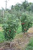 Mini-Apfelbäumchen Maloni® Billy® - 2jähriges Bäumchen im 10lt-Topf