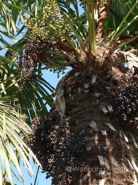 Chinesische Hanfpalme - Trachycarpus fortunei syn. chamaerops excelsa - 10 Samen