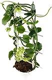 Ceropegia sandersonii - kletternde Leuchterblume - sehr pflegeleichte, Zimmerpflanze am Spalier 30 cm hoch - die Fallschirmblume ein absolutes Highlight im sonnigen Fensterbrett
