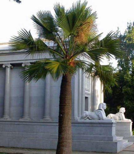 Brahea edulis | Guadalupe Palm | 5 Samen