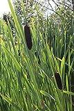 4er-Set im Gratis-Pflanzkorb - Typha latifolia - Breitblättriger Rohrkolben - Wasserpflanzen Wolff