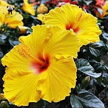 1, gelb: 100 Stück heißen Seltene Riesen Hibiscus Blumengärten Startseite Topfpflanzen Blumen Okra Hibiscus Bonsai: Gelb - Hibiscus Topfpflanze