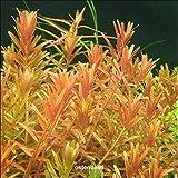 WFW wasserflora Kleine Rotala/Rotala indica - rotundifolia