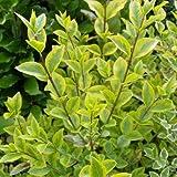 Goldliguster - Ligustrum ovalifolium 'Aureum' - Heckenpflanze