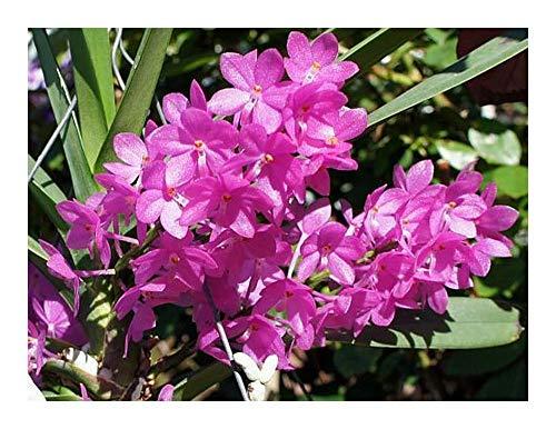 Ascocentrum mpullaceum - orchidée - 100 graines
