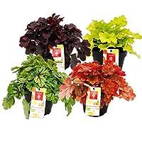 Cubierta de suelo resistente - Mezcla de heuchera - Verano indio - 8 plantas grandes - Campanas de color púrpura