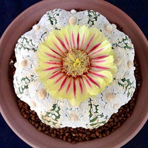 Ncient 100pcs/Sac Graines Semences de Cactus, Succulent Seeds Rare Cactus Décor Plante d'Intérieur Plante en Pot Rare Bonsaï de Jardin Balcon