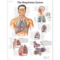 3B Scientific Human Anatomy - The Respiratory System Chart, Laminated Version