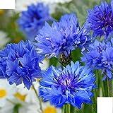lot de 20 graines de centaurée à fleurs double bleue fleurs a couper envoi rapide sous 48h