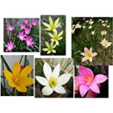 Rain lily mixed (a mix of 6 varieties, Dark pink, Light Pink, Yellow, White, Lemon Yellow & Apricot)