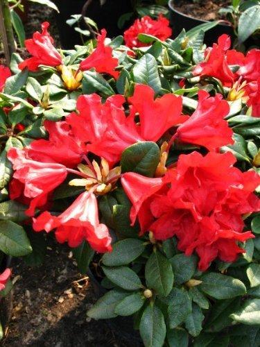 Zwerg Rhododendron repens Baden Baden 25-30 cm breit im 2 Liter Pflanzcontainer