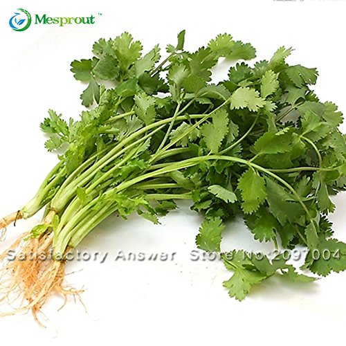 50pcs alcaravea semence de coriandro graine de persil coriandre sains plantes fournitures Graines Légumes vegetable garden