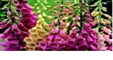 Swanley Village Kinderzimmer 20x Digitalis Foxy Plug Pflanzen gemäht