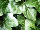 100 Stück Efeu Hedera helix Hibernica (Irischer Efeu) | 100% Anwachsgarantie | aus deutscher Markenbaumschule | mind. 3 Triebe im 0,5L Topf | mit Pflanzanleitung
