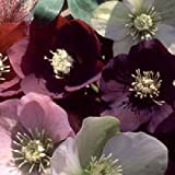 Viridis Hortus - 10 Helleborus Cottage Mixed Perennial Flower Seeds