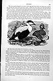 Original old antique victorian print Drucken Sie Eiderente Somateria Mollissima C1890 469K131