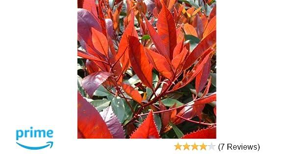 gardenexpert Photinia//FraseriRed Robin Plant in 15 cm Pot