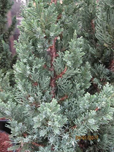 Juniperus chinensis Robusta Green – Chinesischer Wacholder Robusta Green