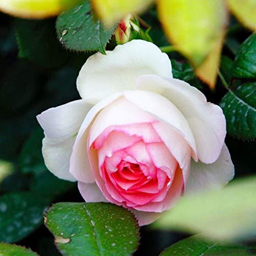 100 Stück Kletterrosen, bunt, für Garten, Haus, Balkon, Zäune, Hof, Dekoration Blumen, Pflanzen - Mimi Eden Rosa Seeds