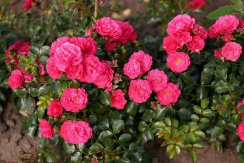 Gärtnerfreude® - Container Rose im 4 ltr. Topf