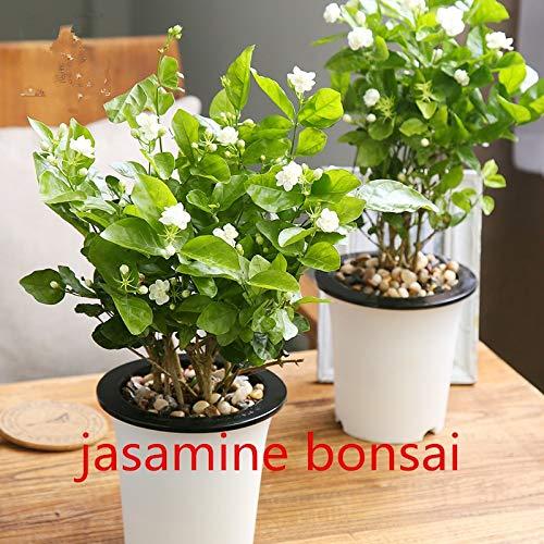 Pinkdose 10 PC weiße Jasmin Pflanzen, arabische Jasmin aromatische Pflanze guter Geruch chinesisch Blume für zu Hause Garten Bepflanzung