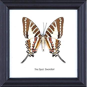 The Spot Swordtail Butterfly (Graphium nomius) | Schmetterlinge Entomologie Taxidermie Innendekoration | 12 x 12 cm